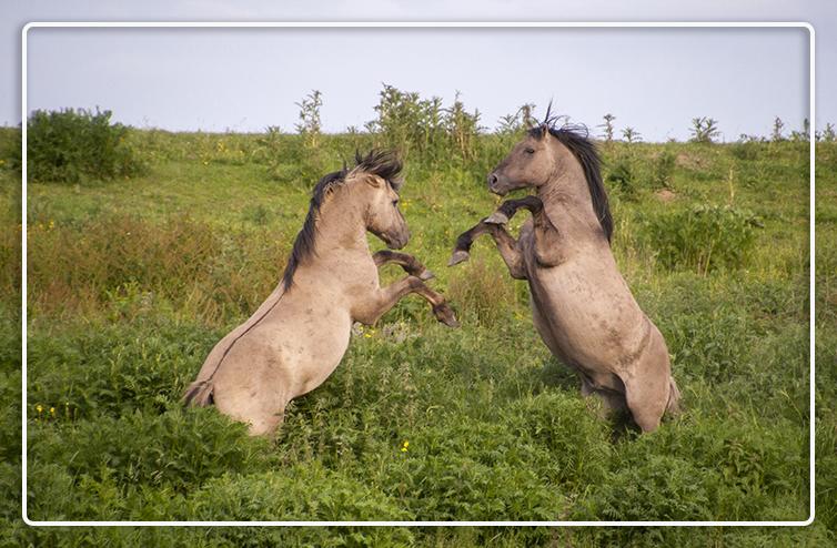 Gestrest_paard