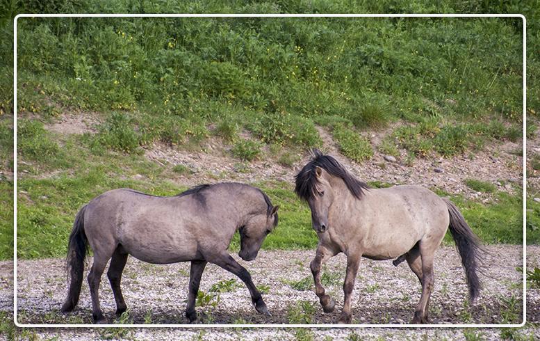 gestrest-paard