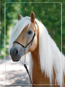 Haflinger paard